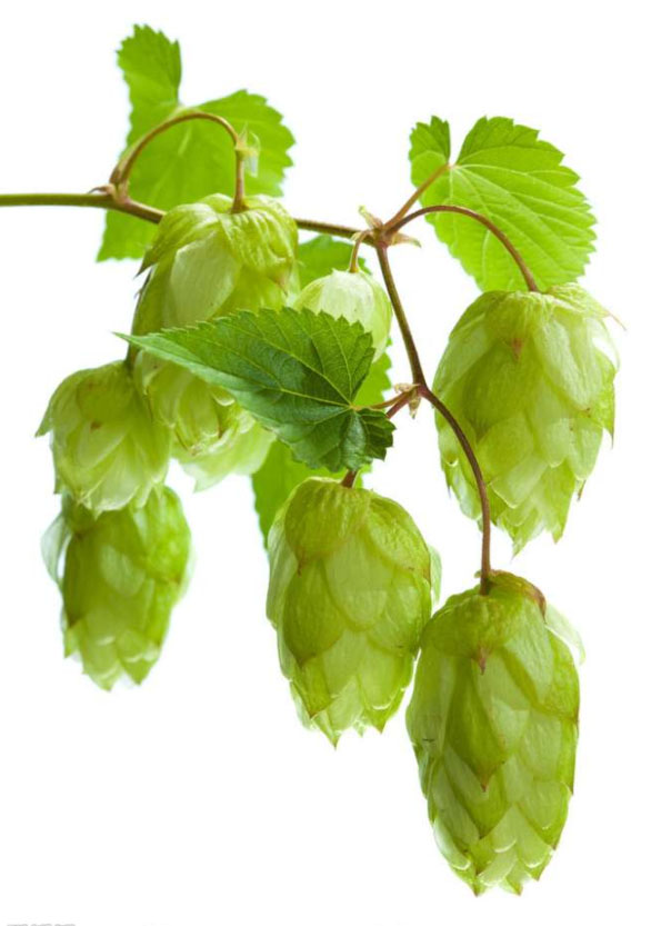 How are the hops used?
